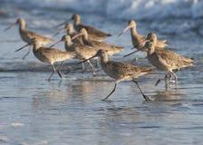 beach birds running Stock Photos