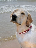labrador retriever with birthday collar Royalty Free Stock Photo