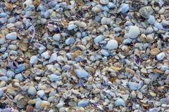 Beach Black Sea mussels in Pomorie, Bulgaria Stock Image