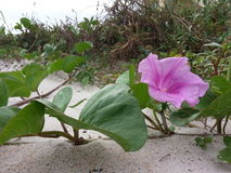 Beach Bloom Stock Images