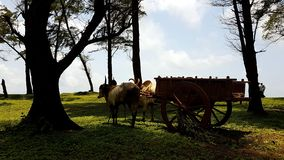 Beach Bullock Cart royalty free stock image