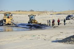 Beach burial for the dead whale at Breeze Point Stock Photography