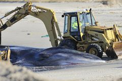Beach burial for the dead whale at Breeze Point Royalty Free Stock Images