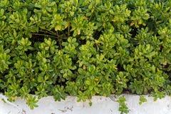 Beach cabbage plant green bush leaf leave. Green bush of beach cabbage plant naturally occurring Green on white sand beach. Phuket Thailand royalty free stock photo
