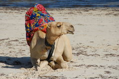 Beach Camel Stock Photo