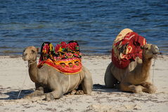 Beach Camel Royalty Free Stock Images