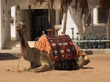 Beach camel. On the red sea beach Royalty Free Stock Images