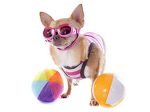 Beach chihuahua Royalty Free Stock Photography