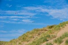 Beach coast with dunes on a sunny day with blue sky with 3 seagull birds Royalty Free Stock Images