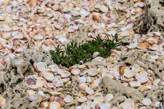 A beach covered by a lot of yellow and white shells and a green plant in the centre of composition stock photos
