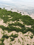 Beach covered with seaweed - ecological imbalance. A photograph depicting a tropical with not so clean water and covered with seaweed, a reason being water is royalty free stock photos