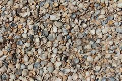The beach covered with a variety of beautiful seashells. The beach is covered with seashells. Azov Sea, Yeisk City, village Dolzhanskaya, Krasnodar Territory royalty free stock images