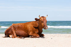 Beach cow Royalty Free Stock Photos
