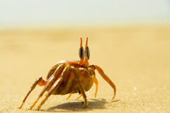 Beach crab Royalty Free Stock Photos