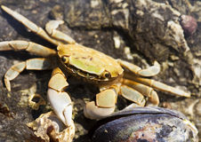 Beach Crab With Mussel Royalty Free Stock Photo