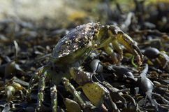 Beach crab and shells. Beach crab in seaweed and limpets attached Royalty Free Stock Image