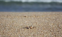 Beach Crab Royalty Free Stock Image