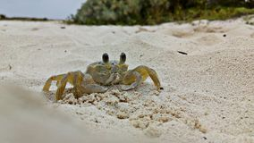 Beach crab walking with its four legs royalty free stock images