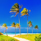 The beach in Cuba on a beautiful summer day. Coconut trees on the beautiful cuban beach of Varadero Royalty Free Stock Images