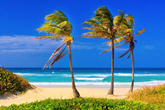 The beach in Cuba on a beautiful summer day. Coconut trees on the beautiful cuban beach of Varadero Stock Image