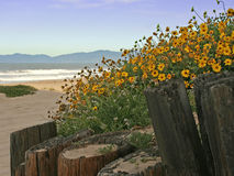Beach Daisies. Yellow daisies growing above old wood poles at the beach, Manhattan Beach, California Stock Image