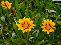 Beach daisies at the coast of Victoria in Australia Stock Photography