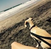 Beach Day. Dog watching the ocean waves Stock Photos
