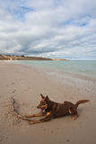 Beach Dog. Dog with a stick on a secluded beach in Australia royalty free stock images