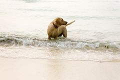 Beach dog Royalty Free Stock Photos