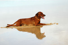 Beach dog. A beautiful Rhodesian Ridgeback hound dog with tired expression in the face on vacation lying in the sand on the beach with reflection of the body in Royalty Free Stock Photography