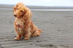 Beach dog Royalty Free Stock Image