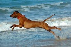 Free Beach Dog Royalty Free Stock Photo - 2815945