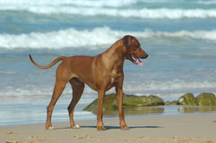 Beach dog. A full body of an African beautiful Rhodesian Ridgeback male hound dog with alert expression in the face standing on the beach close to the sea during Stock Image