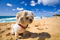 Beach Dog. A small dog is resting on the beach on a sunny day Royalty Free Stock Images
