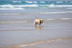 Beach dog Royalty Free Stock Photos