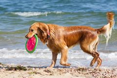 Beach Dog Royalty Free Stock Photography