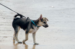 Beach dog ready to swim Royalty Free Stock Image