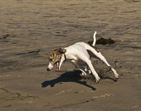 Beach Dog Running. A dog known as a whippet is running, moving fast on the beach, in a race with another dog, with sand and sticks flying into the air Stock Image
