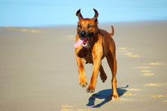 Beach dog running. A beautiful Rhodesian Ridgeback hound dog female shown from front with happy exhausted expression in the face running and jumping on a beach Royalty Free Stock Images