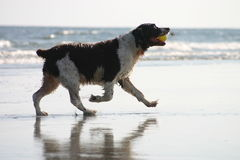 Beach dog too. Dog playing in the water at the beach with a ball in its mouth royalty free stock photos