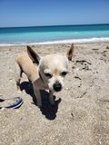 Beach doggie rough vacation. Bum doggie     hotdog paws stock photo