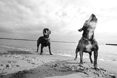 Beach dogs Royalty Free Stock Photos