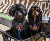 Beach dogs on a chair Royalty Free Stock Image