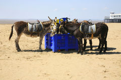 Beach donkeys resting Royalty Free Stock Photography