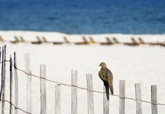 Beach Dove Royalty Free Stock Photography
