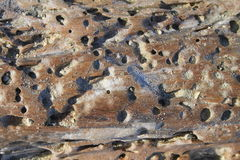 Beach driftwood closeup. Closeup of holes in brown sandy beach driftwood Royalty Free Stock Images