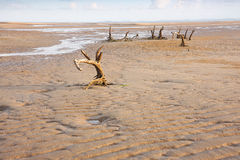 Beach Erosion with dead trees. Town Beach Queensland showing erosion where the sea has reclaimed the land Royalty Free Stock Image