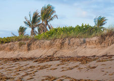 Beach Erosion Series. Beach erosion taking palce on the Florida Treasure Coast is slowed by the dunes and planted grasses royalty free stock image