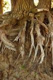 Beach errosion Tree Stock Image