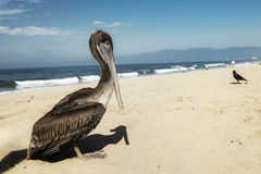 Beach fauna. Pelican sunbathing on the beach Royalty Free Stock Photos